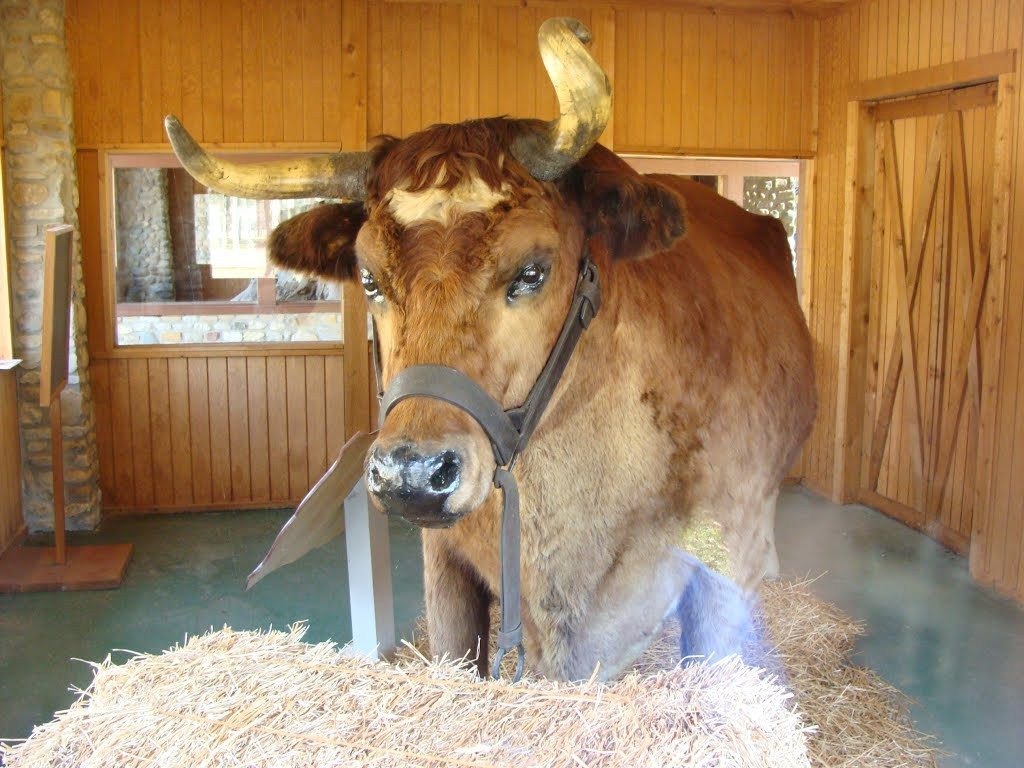 Old Ben – World's Largest Steer